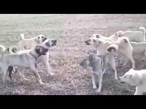 Kangallar Bir Araya Gelirse...