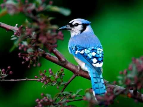 Ringtone bird sound