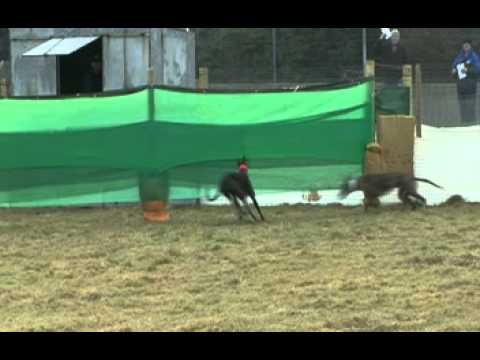 IRISH HARE COURSING  OAKS TRIAL STAKES