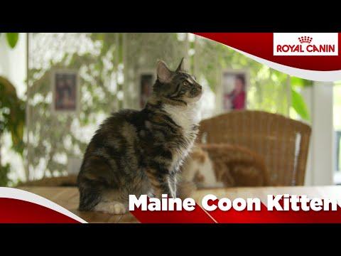 Maine Coon ( Kitten)