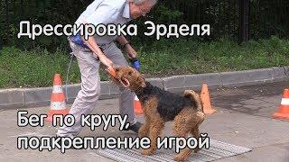 Эрдельтерьер бег по кругу, подкрепление игрой, дрессировка собак