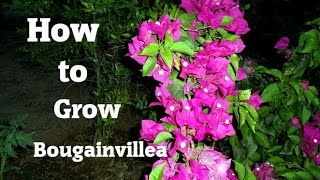 How to Bonsai -  Grow Bougainvillea As Bonsai