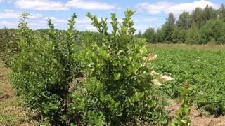 Боярышник (сорта)(Добрый день! Мы занимаемся выращиванием и продажей растений для ландшафтного дизайна. В ассортименте собст..., 2014-07-02T17:00:00.000Z)