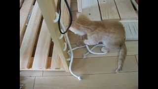 飼い猫のたま。生後1.5カ月頃 ラックのネジ穴にひもを通しておもちゃにしてみた。期待通りの反応。 (たま:2009/08/13に生後10日位で保護、2009/...