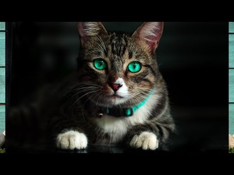 GUESS WHAT CAT BREED LIVES LONGEST/ TOP 10 CAT BREED LIFESPANS