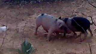 combat de porc Rak gou mbame.MP4