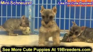 Miniature Schnauzer, Puppies, For, Sale, In, Cincinnati, Ohio, Oh, Westerville, Huber Heights, Lima,