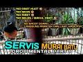 Servis Murai Batu Drop Mental Part  Dengan Cara Alami No Obat Kuat Bossku  Mp3 - Mp4 Download