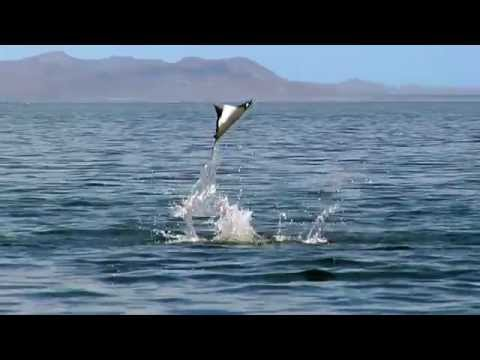 Devil rays make a splash - Nature's Greatest Dancers: Episode 2 Preview - BBC One