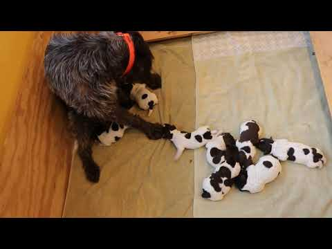 Bluestem Kennels Wirehaired Pointing Griffons - Welcome P Litter