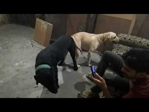 Labrador meting