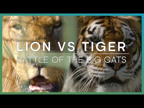 LION vs TIGER: Battle Of The Big Cats | BBC Earth Unplugged thumbnail