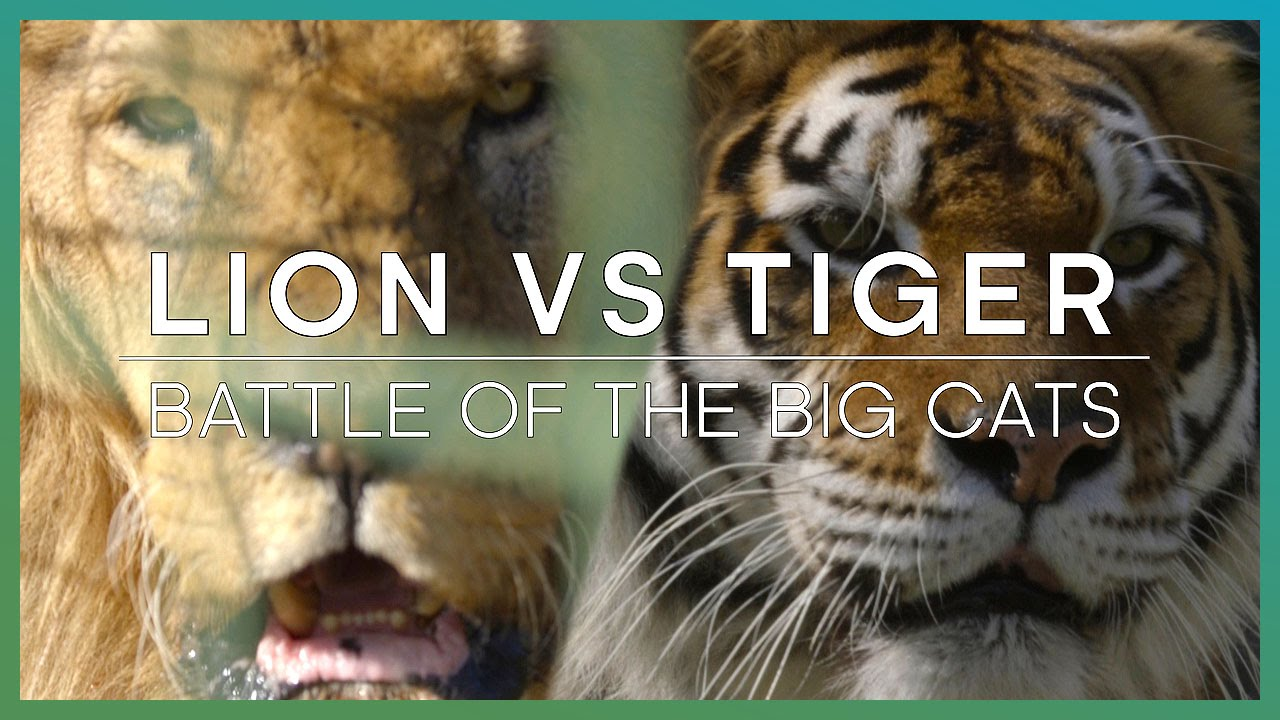 LION Vs TIGER Battle Of The Big Cats BBC Earth Unplugged YouTube - 21 cats losing fight against technology