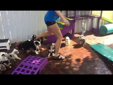Kaylia playing with Toy Aussie puppies at Lindsey's Aussies 7/11/16
