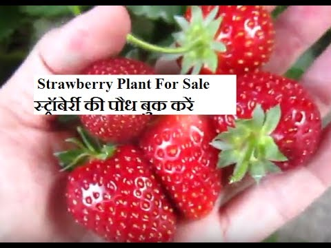 Modern Kheti | agriculture in india | strawberry farming