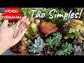 2 Técnicas para encher suculentas mais rápido. Veja passo a passo! Suculentas arbustivas crescendo