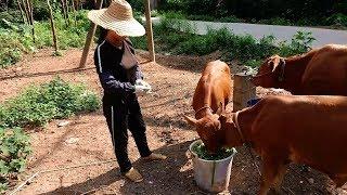 黄牛都没光哥牛,丫头数牛把光哥也数进去,堂哥笑完又去撩喂牛妹
