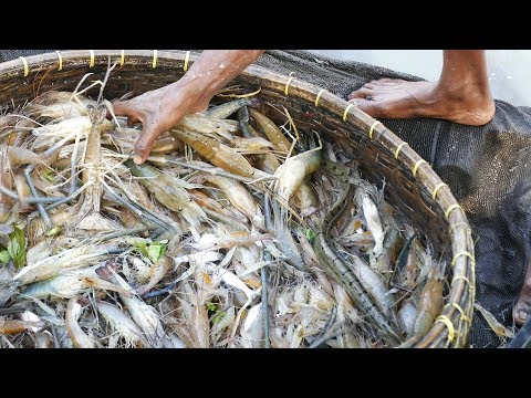 Amazing Fishing From River। Catch A Lot Of Shrimp Fish