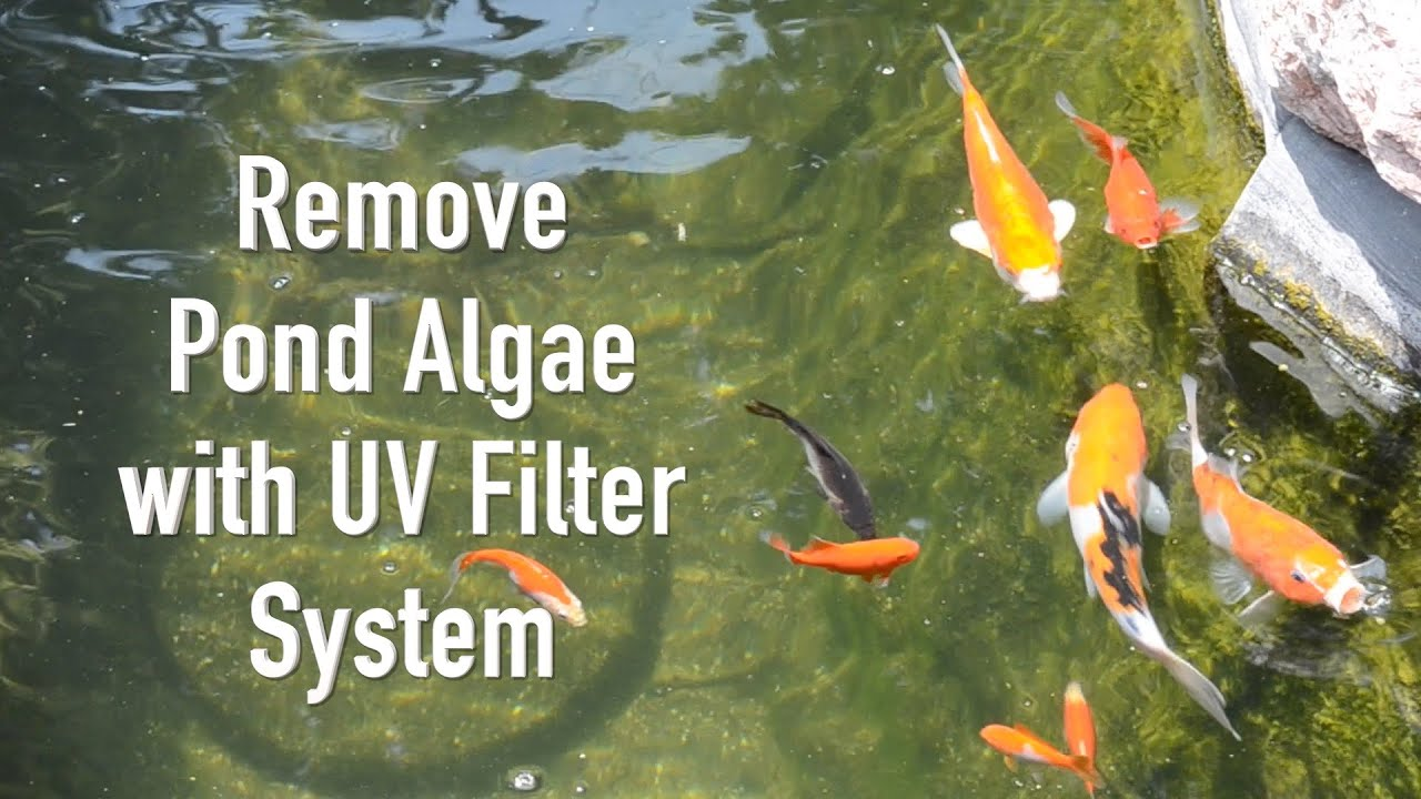 Remove pond algae with uv filter system doovi for Pond cleaning fish