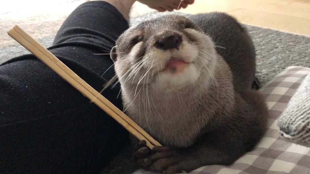 カワウソさくら 割り箸に対する愛が重すぎて猫に引かれる Otter who love disposable chopsticks