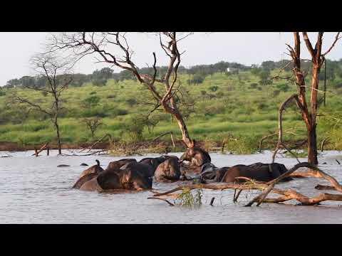 Elephants swimming at Mavela Game Lodge