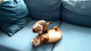 Epic weasel fight!