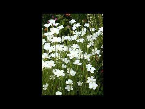АГРОСТЕММА,  или КУКОЛЬ  /AGROSTEMMA( растения/plants)( HD slide show)!