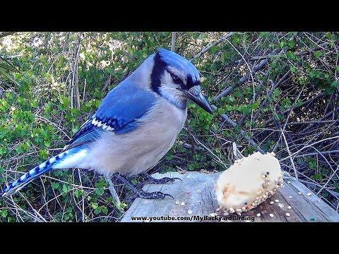 Blue Jay Meets Banana - Makes Monkey Sounds