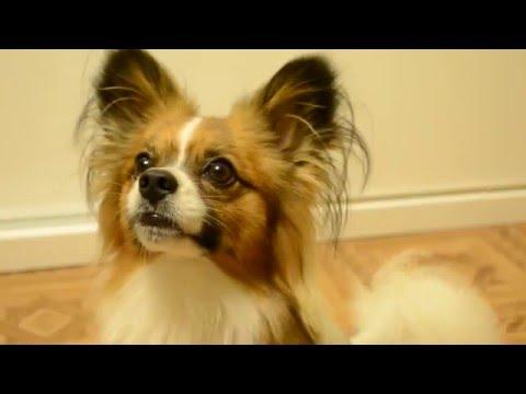 Порода собак папильон: фото, цена и особенности