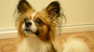 """Моя собачка:) Приколы с собаками. порода папильон.Команда """"голос"""" :)))"""