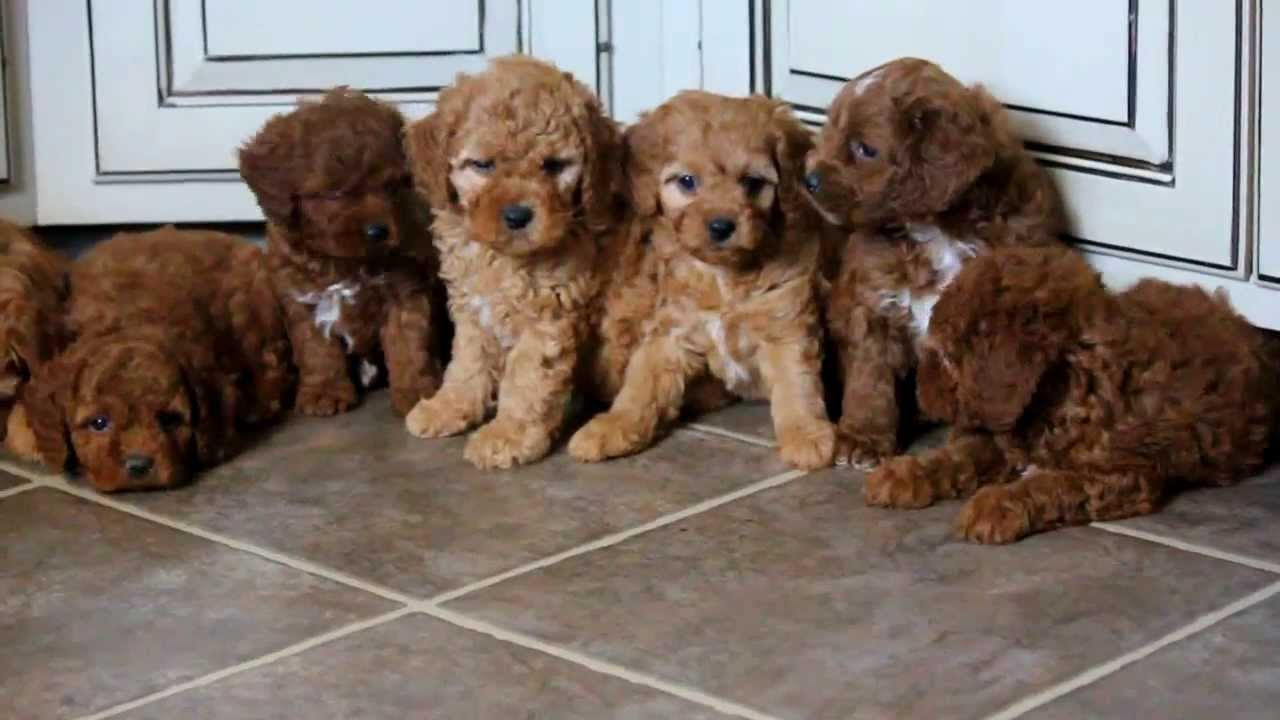 Cockapoo Puppies For Sale - Youtube-9350