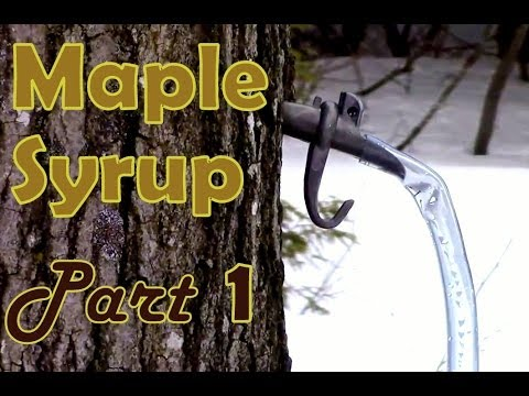 Making Maple Syrup- Part 1- How To Select & Tap A Maple Tree
