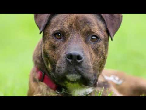 10 Things You Need to Know About Brindle Pit Bulls