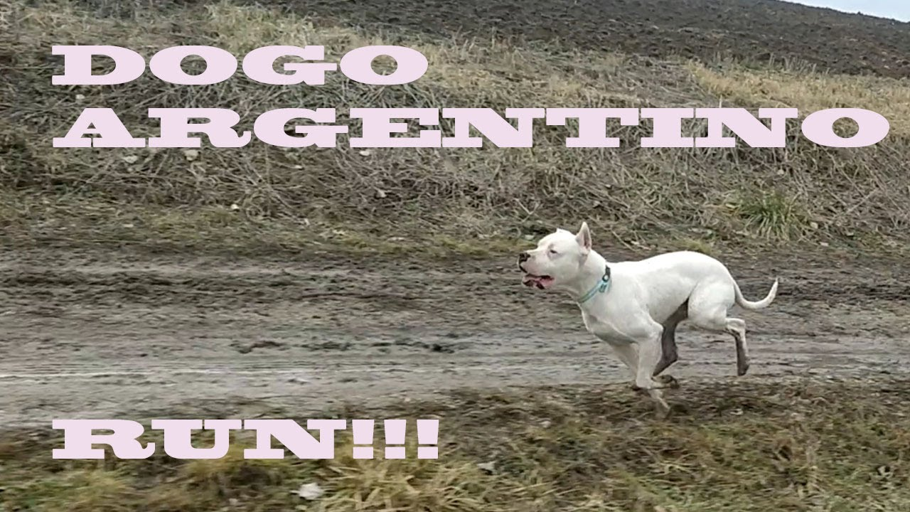 Dogo Argentino Run - YouTube