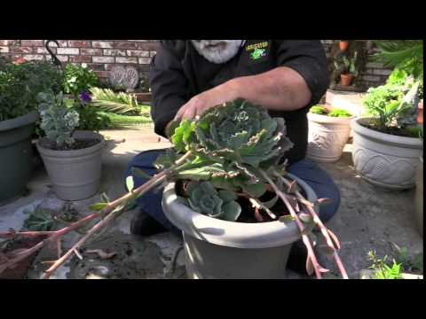 How To Prune A Potted Succulent Youtube