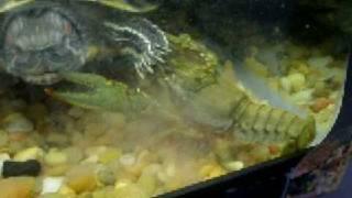 Turtles vs Jumbo Crawfish part 3