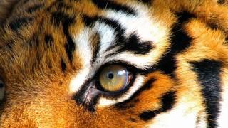 Naibu - Tigresse