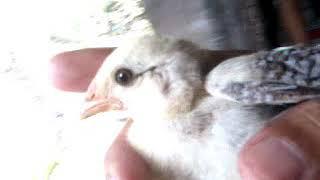 Suara Anak Ayam