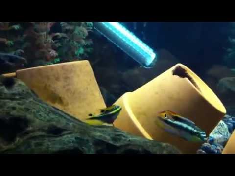 Kribensis Cichlid - Pelvicachromis pulcher