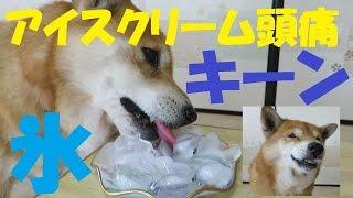 夏本番!氷を食べて『アイスクリーム頭痛』を起こしてしまった柴犬のま...