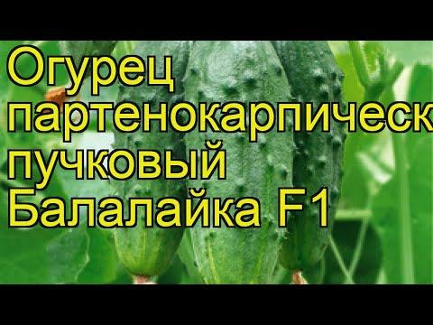 Огурец Балалайка (Огурец). Краткий обзор, описание характеристик, где купить семена cucumis sativus
