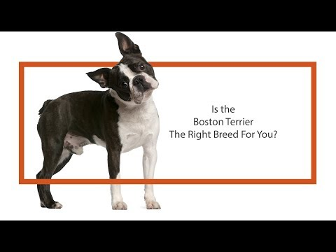 Is the Boston Terrier the right breed for you?