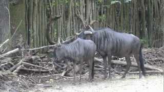 Repeat youtube video Streifengnubock treibt Weibchen