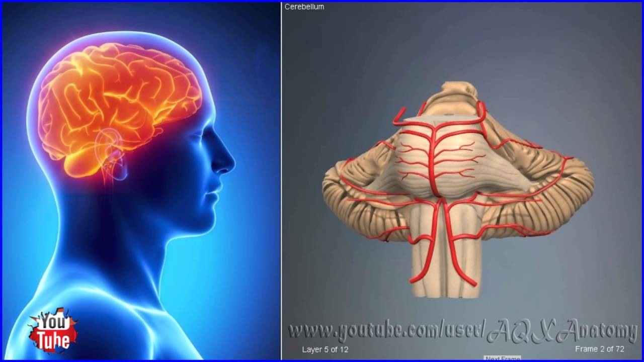 Cerebellum Brain Location 3d Human Anatomy Organs Youtube
