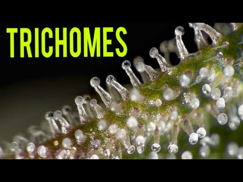 TRICHOMES ON CANNABIS PLANTS! – WHEN TO HARVEST MARIJUANA