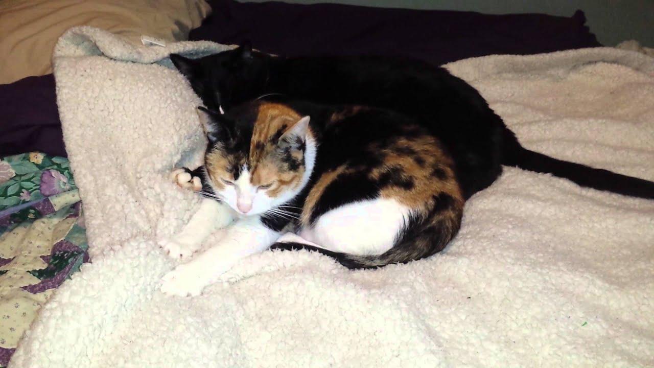 heatstroke in cats