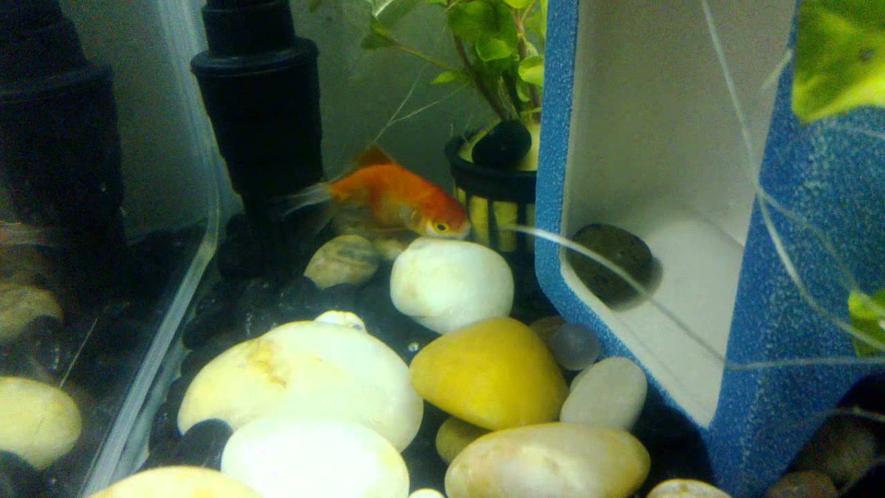 Fish in tank died - My Goldfish Dying On Its Last Breath