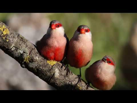 Вопрос: Почему поют птицы О чем рассказывают?
