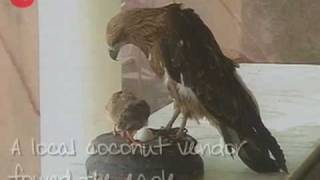 これもまた猛禽力。傷だらけで保護されたワシ、ヒヨコたちの子育てをする