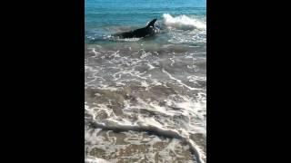 white pointer shark swims onto coronation beach geraldton western australia choked on sea lion